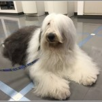 Dr.倫太郎出演の犬弥助(やすけ)の役柄と犬種と値段は?画像